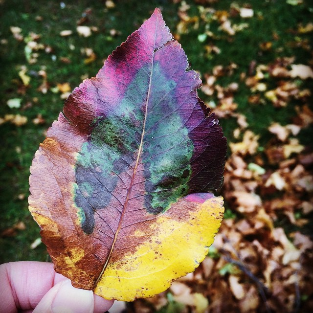 Still completely amazed by rainbow leaves.